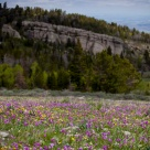 Wild flowers at the Aspen Glades