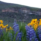 Wild flowers in Sinks Canyon